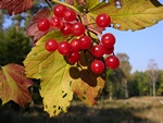 Guelder-Rose (Viburnum opulus)